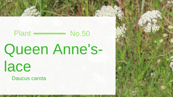 Queen Anne's-lace - Daucus Carota
