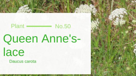 Queen Anne's-lace - Daucus Carota