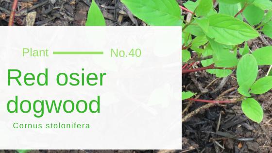 Red osier dogwood - Cornus stolonifera
