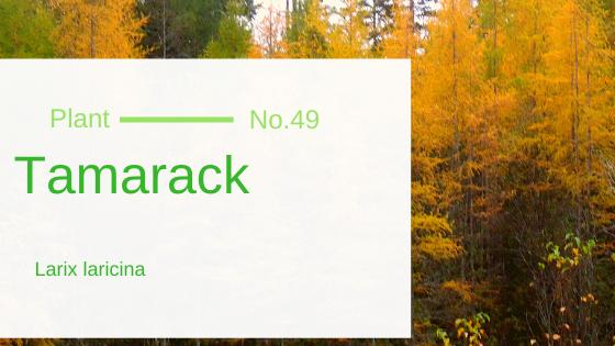 Tamarack - Larix Laricina