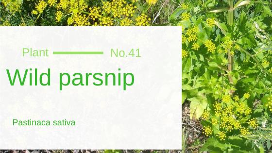 Wild Parsnip - Pastinaca Sativa