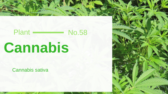 Cannabis - Cannabis Sativa