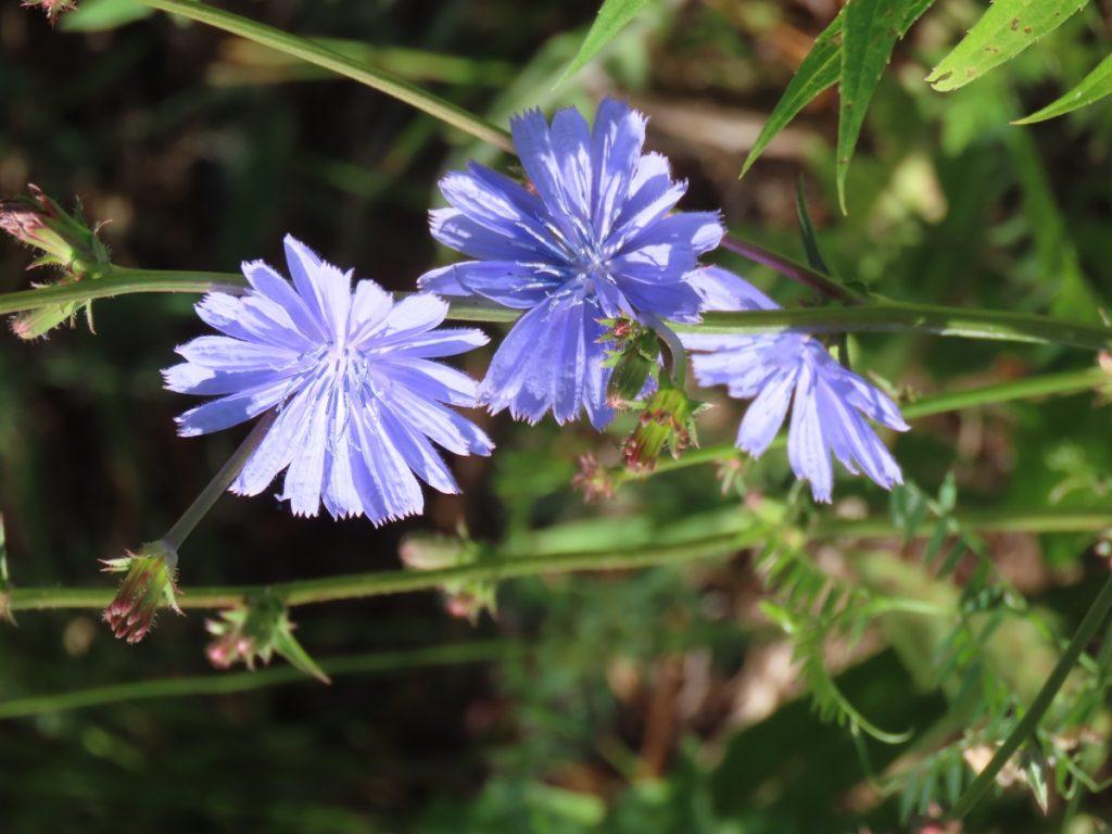 Chicory - Cichorium Intybus: Coffeeweed of Edible ...