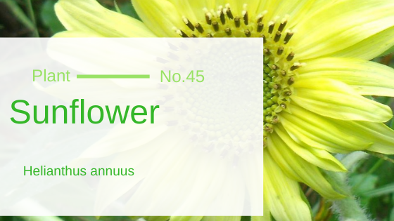 Sunflower – Helianthus Annuus