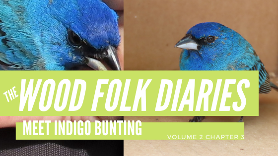 The Wood Folk Diaries: Volume 2, Chapter 3: Meet Indigo Bunting