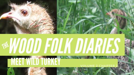 The Wood Folk Diaries: Volume 2, Chapter 2: Meet Wild Turkey