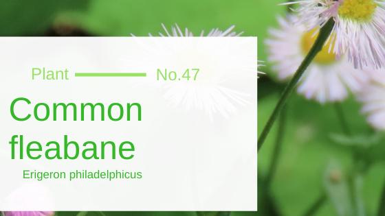 Common Fleabane – Erigeron philadelphicus