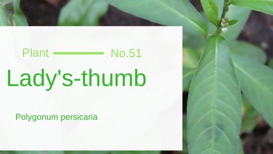 Lady's Thumb - Polygonum Persicaria