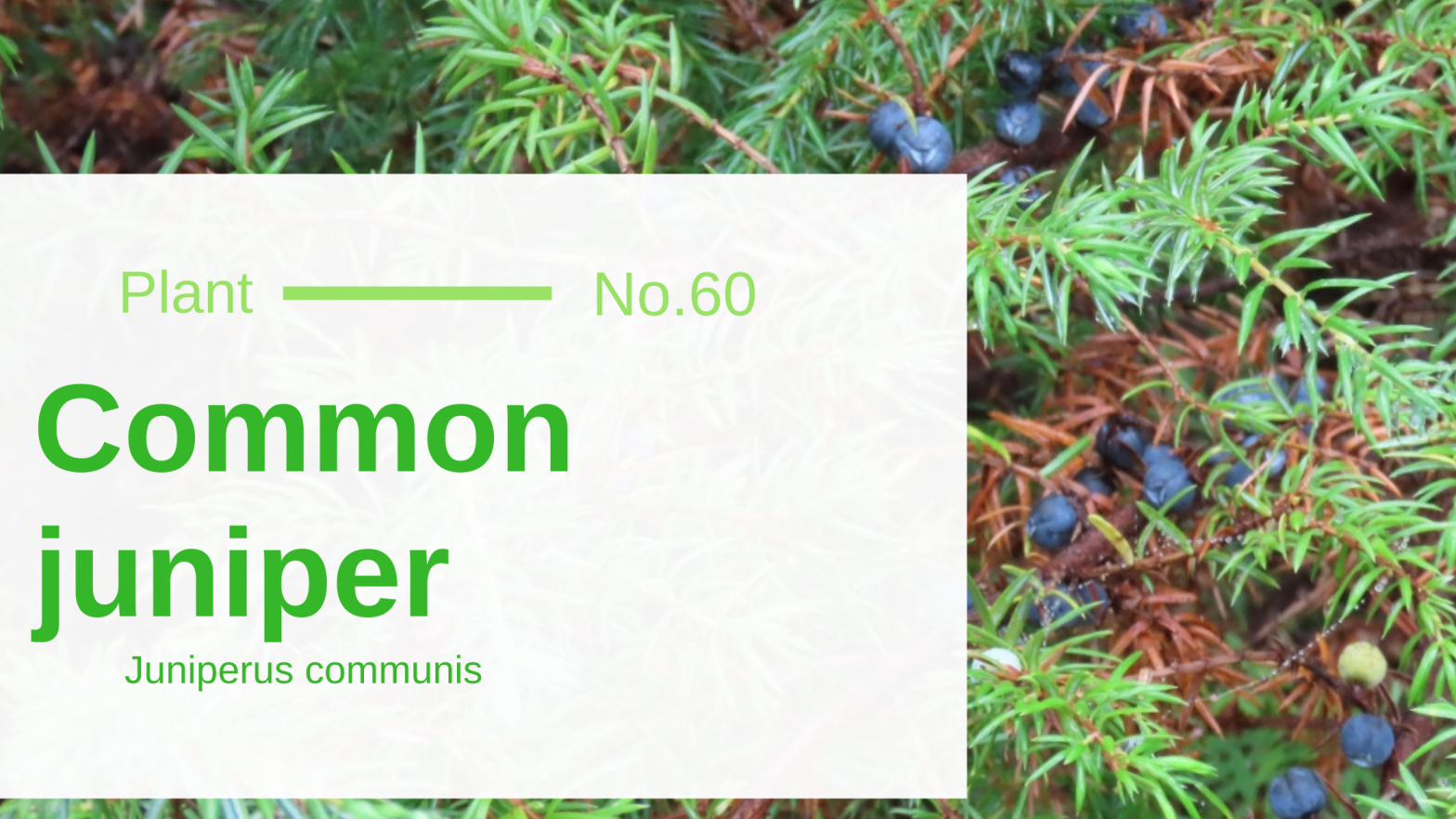 Common Juniper - Juniperus Communis