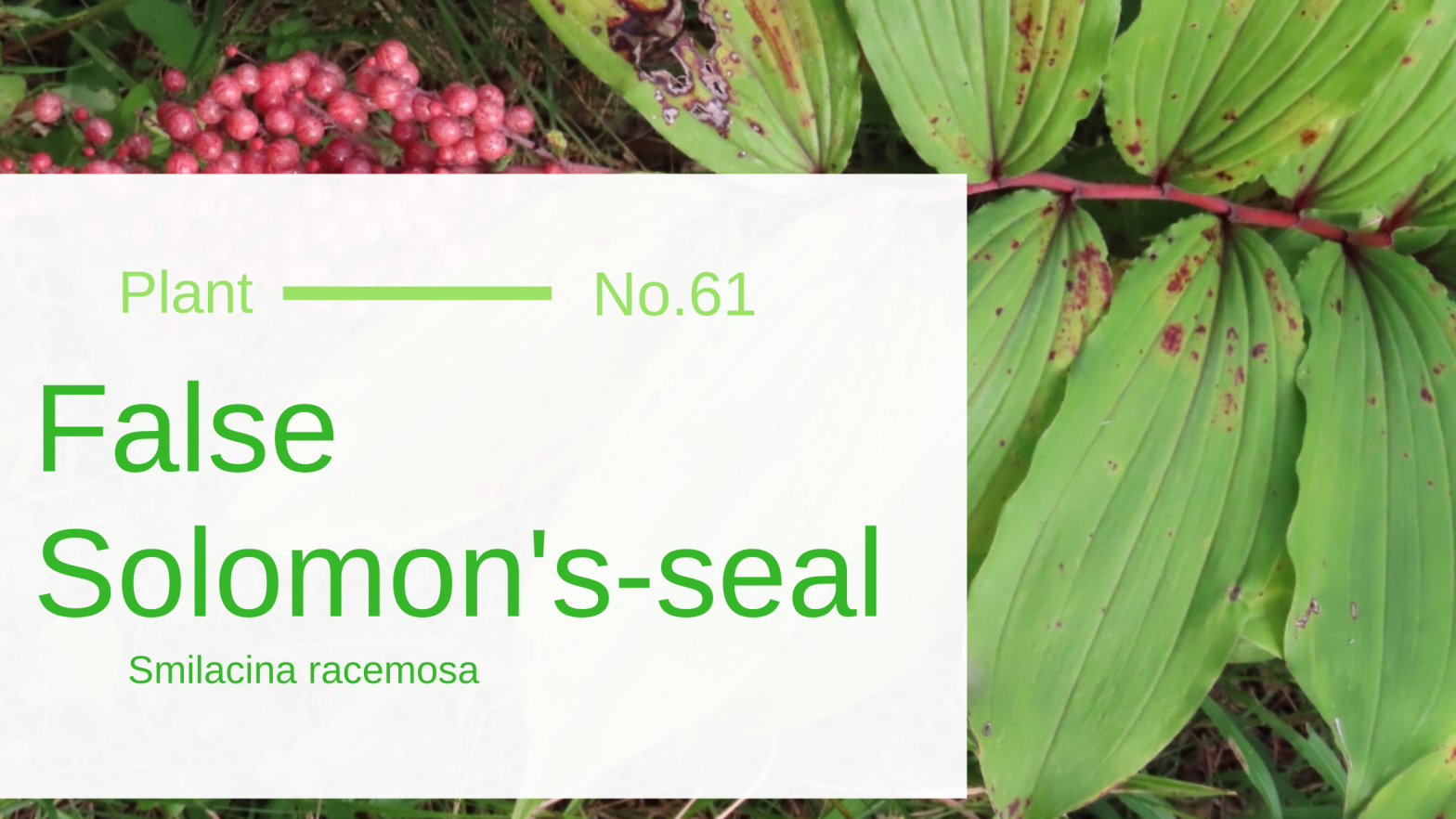 False Solomon's-seal - Smilacina Racemosa