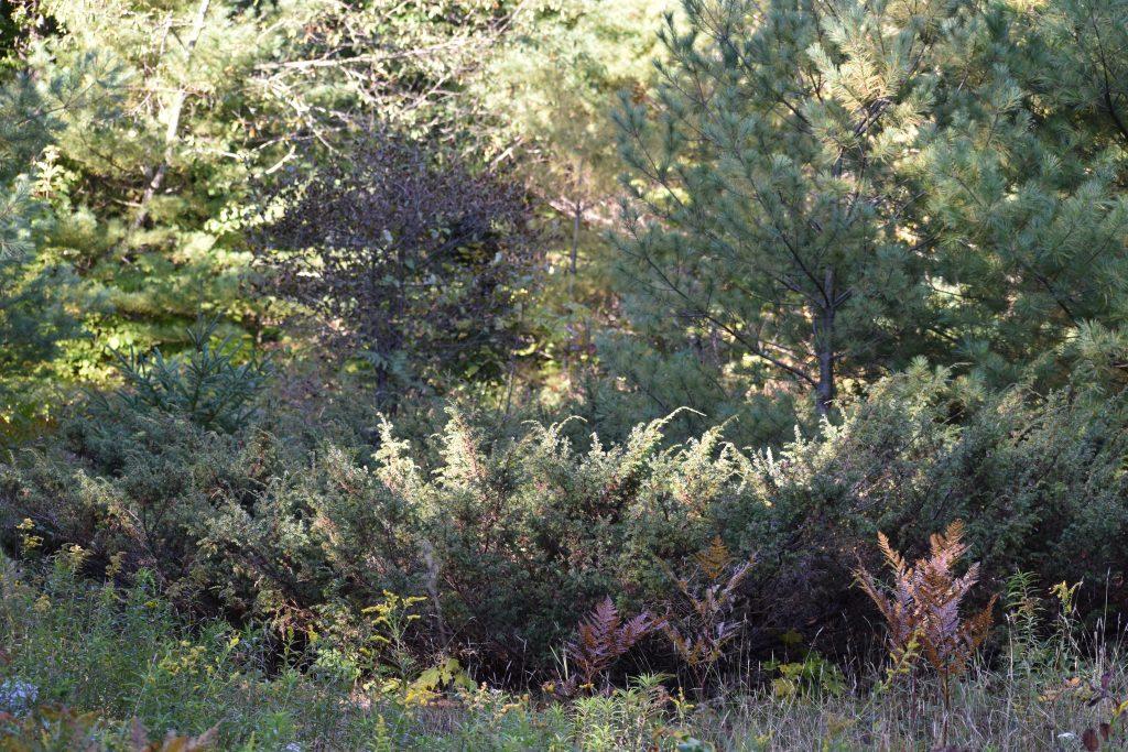 Common Juniper - Juniperus Communis