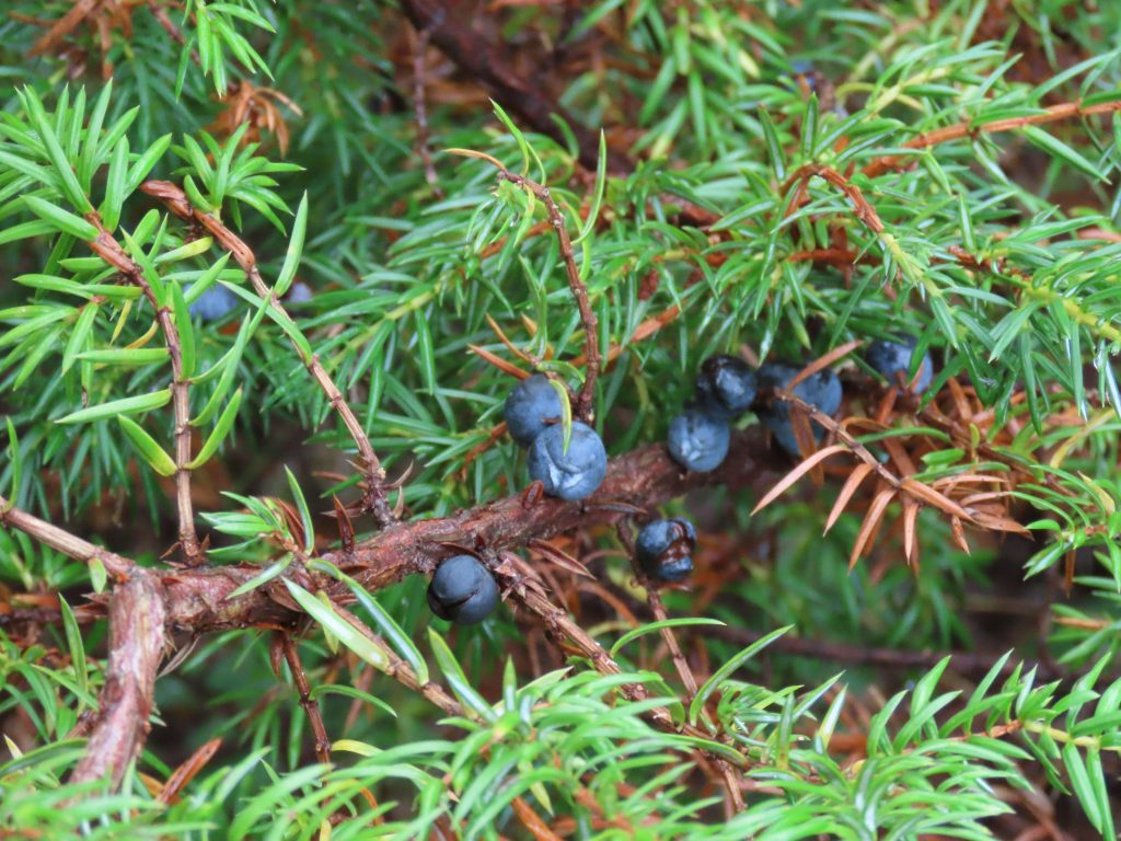 Berries of Common Juniper - Juniperus Communis