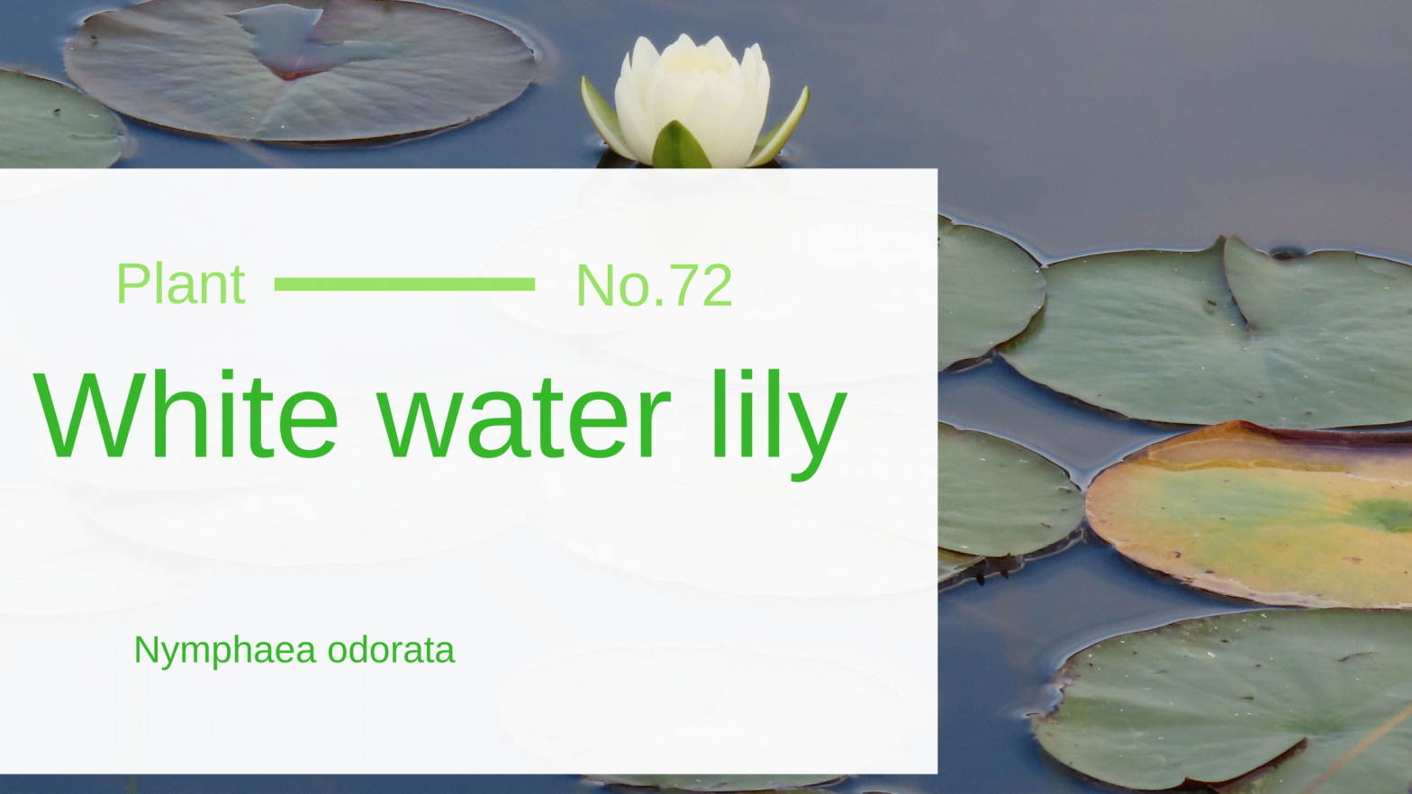 White water-lily – Nymphaea odorata
