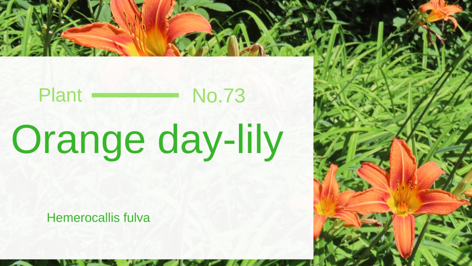 Orange day-lily – Hemerocallis fulva