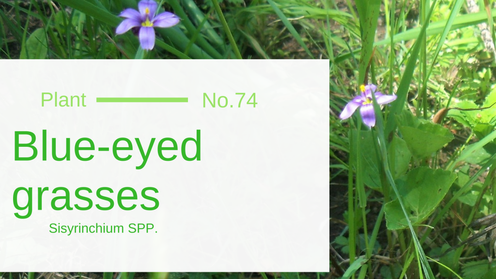 Blue-eyed grass - Sisyrinchium montanum