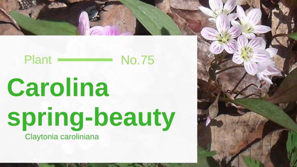 Spring-beauty - Claytonia caroliniana