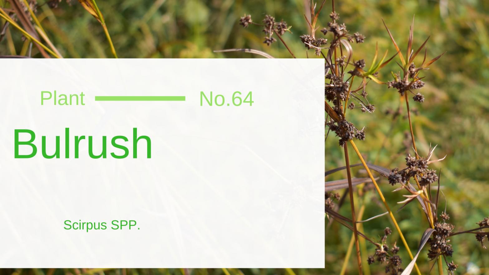 Bulrush - Scirpus SPP.