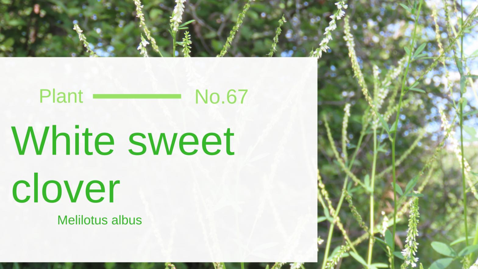 White Sweet Clover - Melilotus Albus