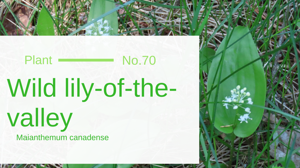 Wild Lily-Of-The-Valley - Maianthemum Canadense