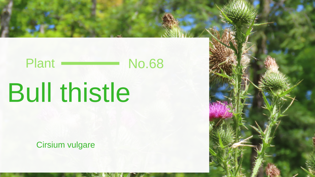 Bull Thistle - Cirsium Vulgare