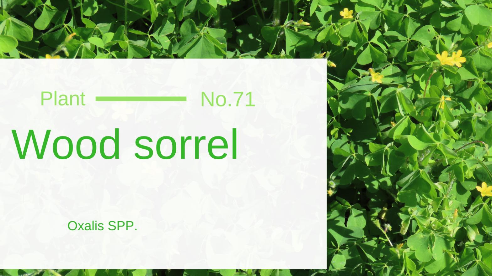 Wood Sorrel - Oxalis SPP.