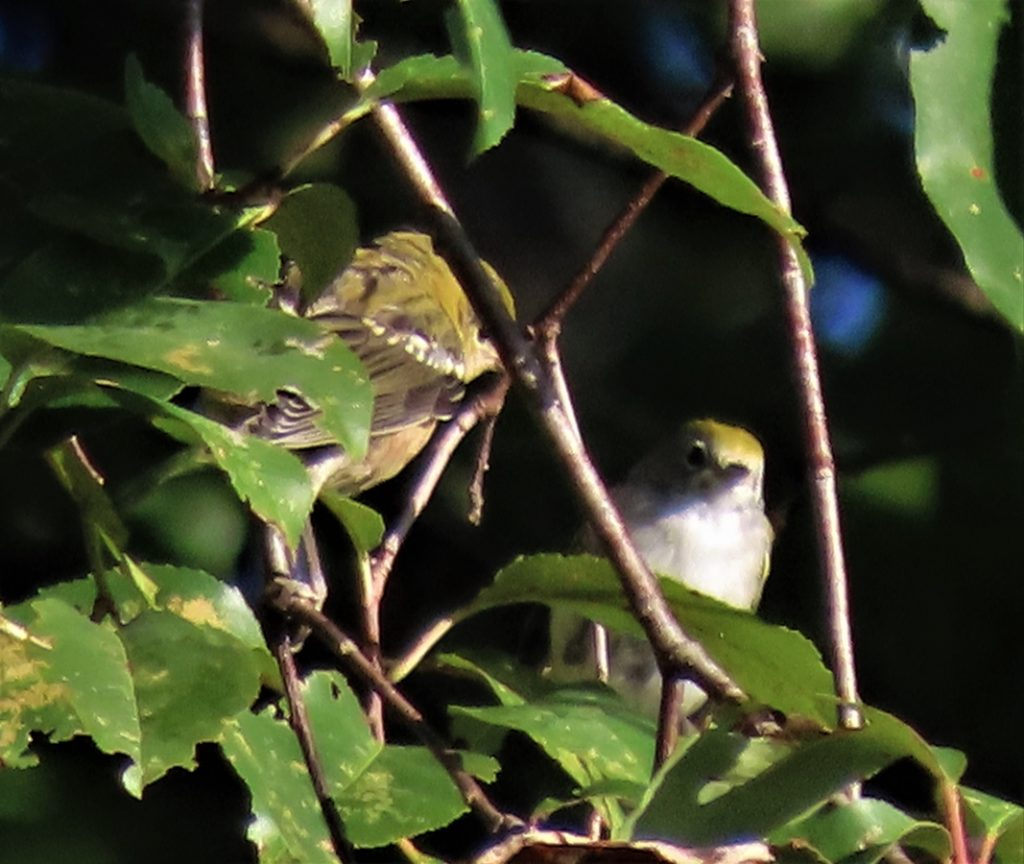 Chestnut-Sided Warbler female and young
