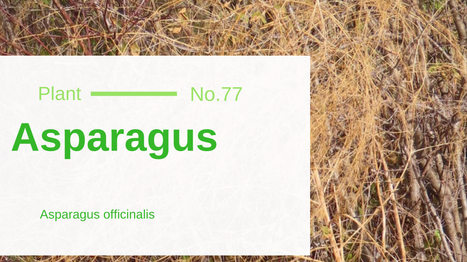 Asparagus – Asparagus officinalis