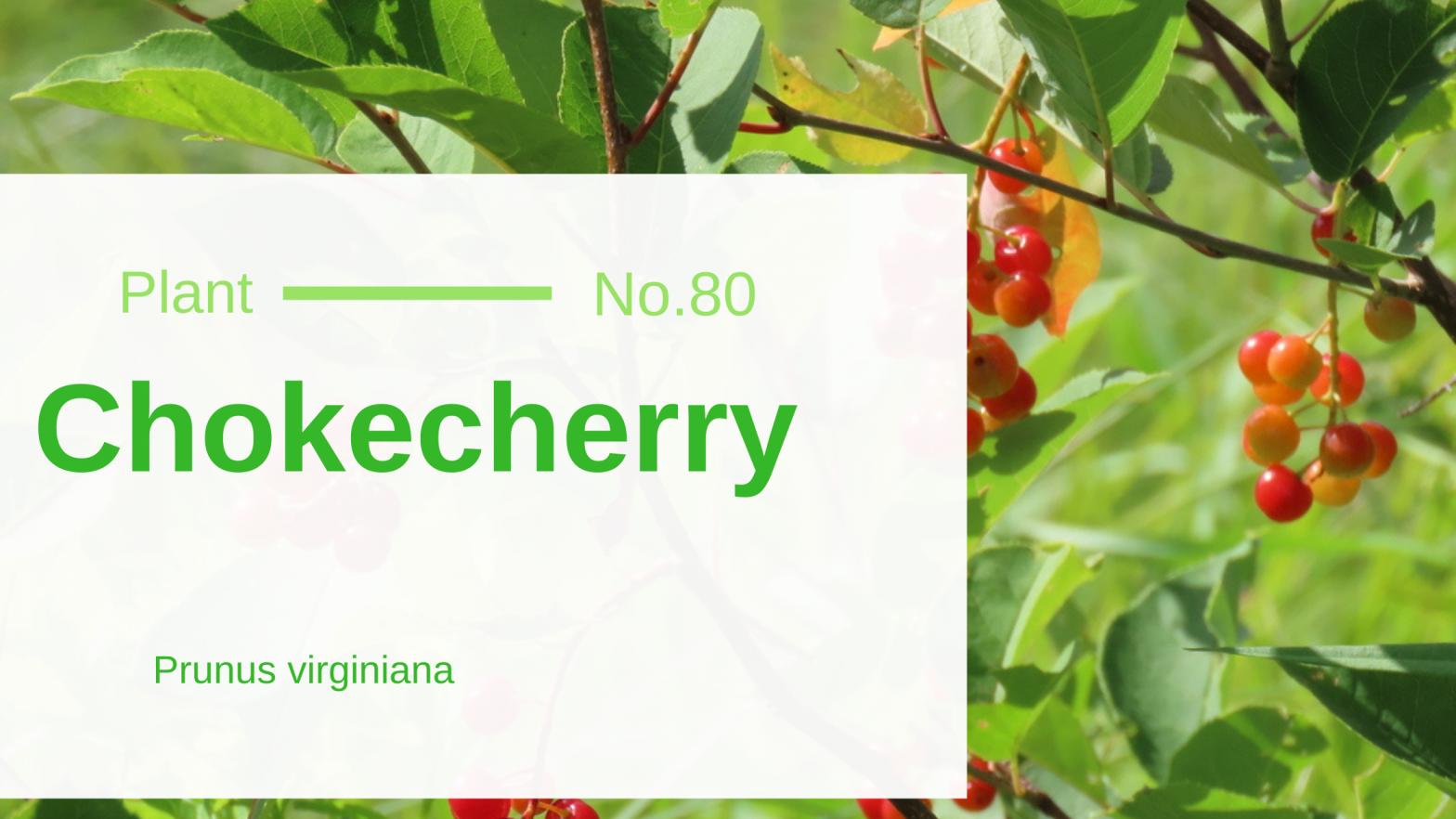 Chokecherry – Prunus virginiana