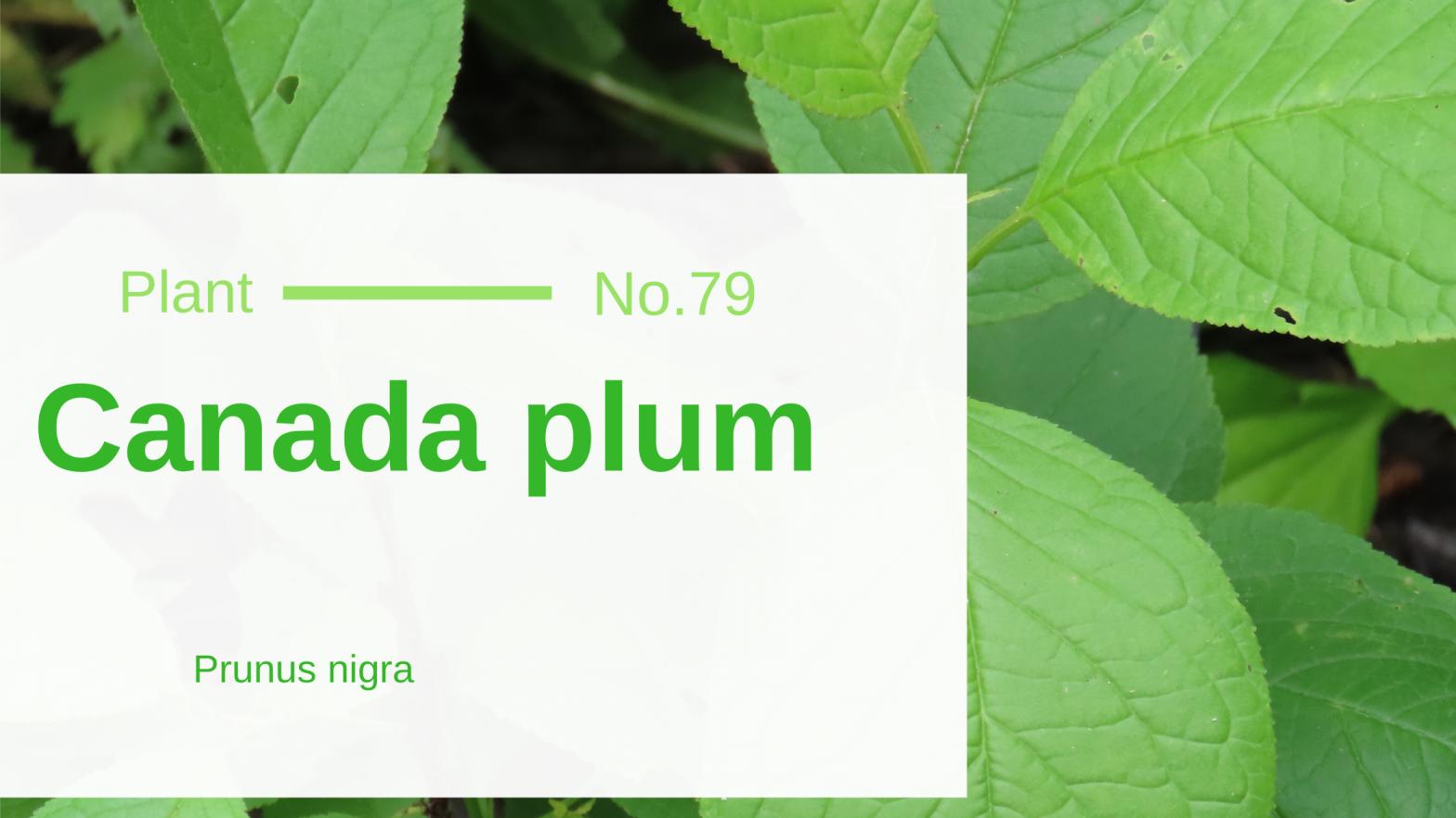 Canada plum – Prunus nigra