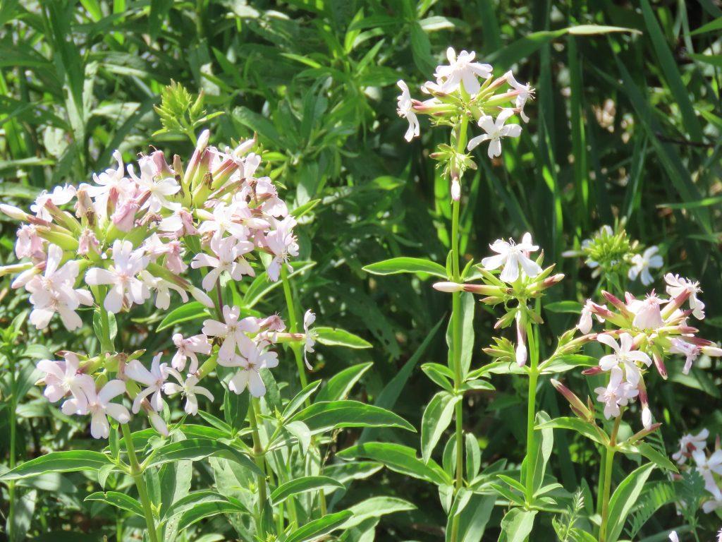 Soapwort - Saponaria Officinalis