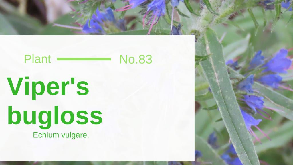 Viper's bugloss – echium vulgare