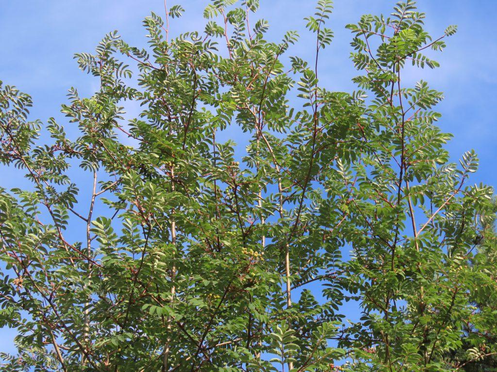 Mountain-Ashes - Sorbus SPP.