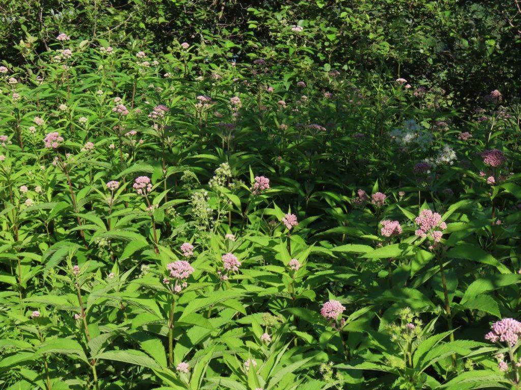 Joe-Pye Weed - Eupatorium Maculatum
