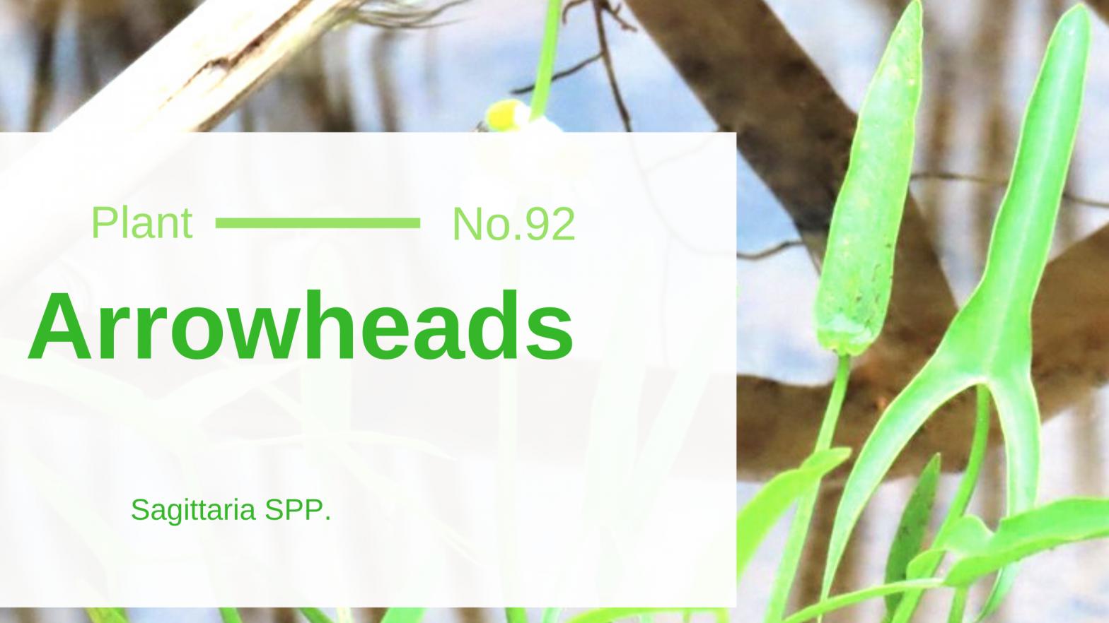 Arrowhead - Sagittaria SPP.