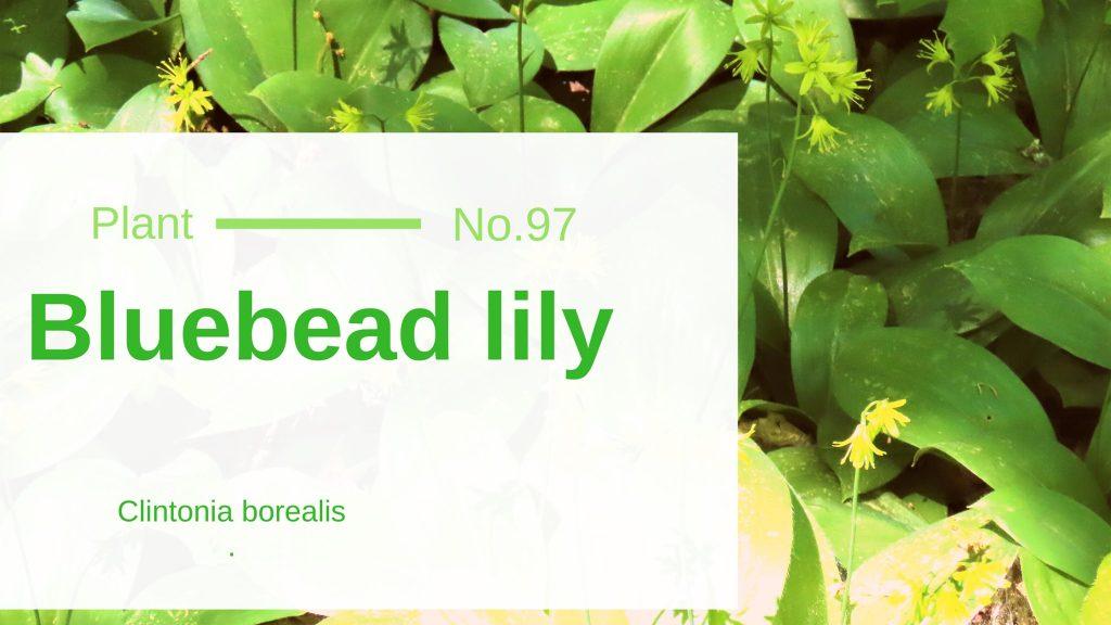 Bluebead Lily - Clintonia Borealis