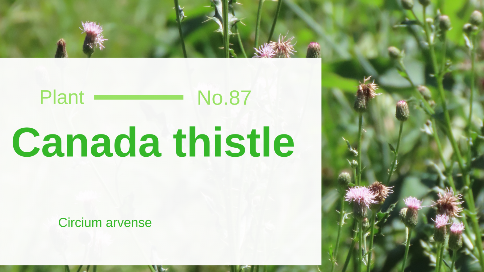 """Canada Thistle – Cirsium Arvense: """"She Doesn't Even Go Here"""" of Edible & Medicinal Wild Plants"""