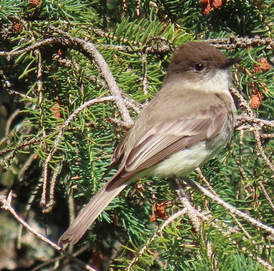 Eastern Phoebe Flycatcher