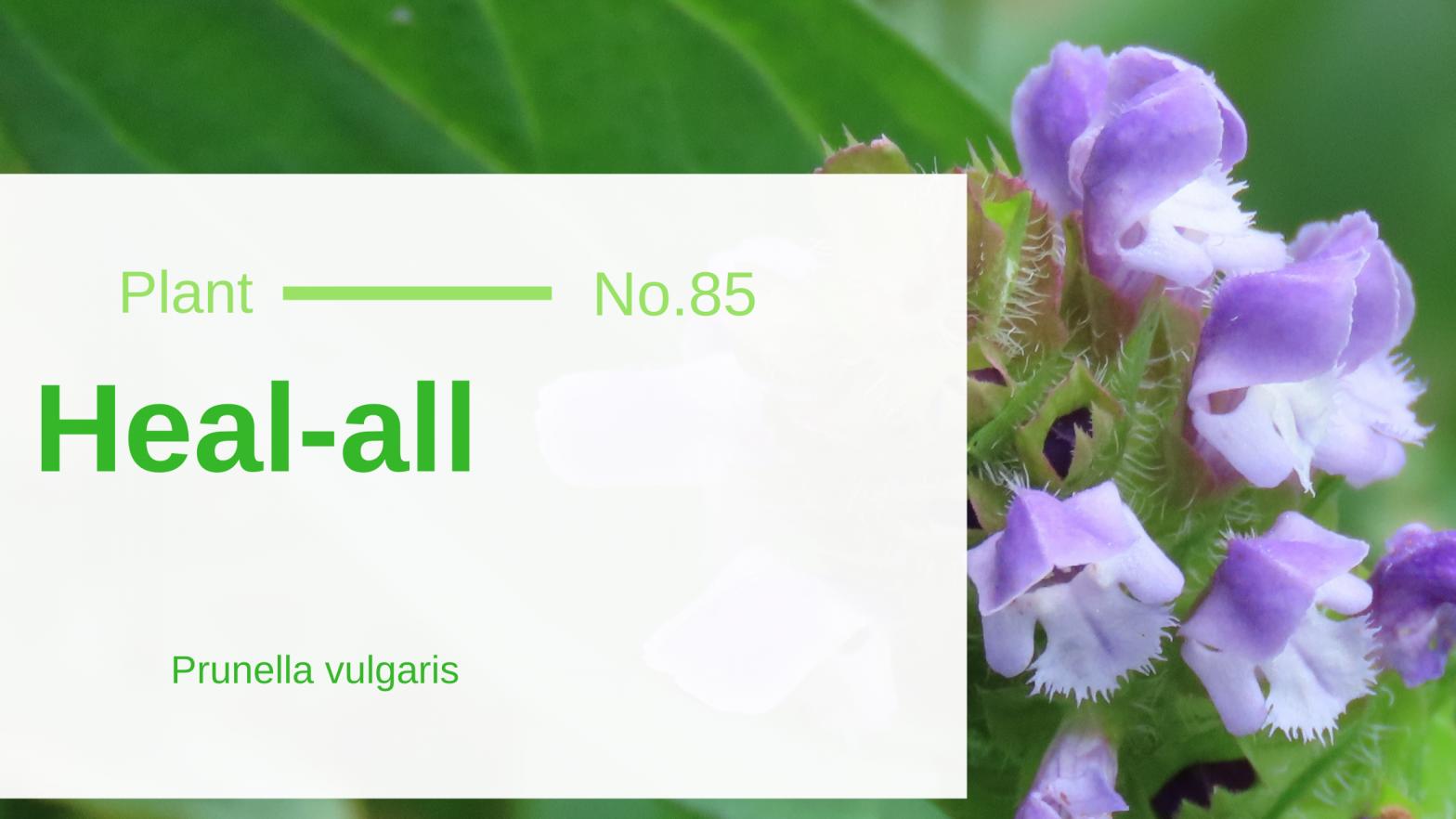Heal-All - Prunella Vulgaris: Another Woundwort of Edible & Medicinal Wild Plants