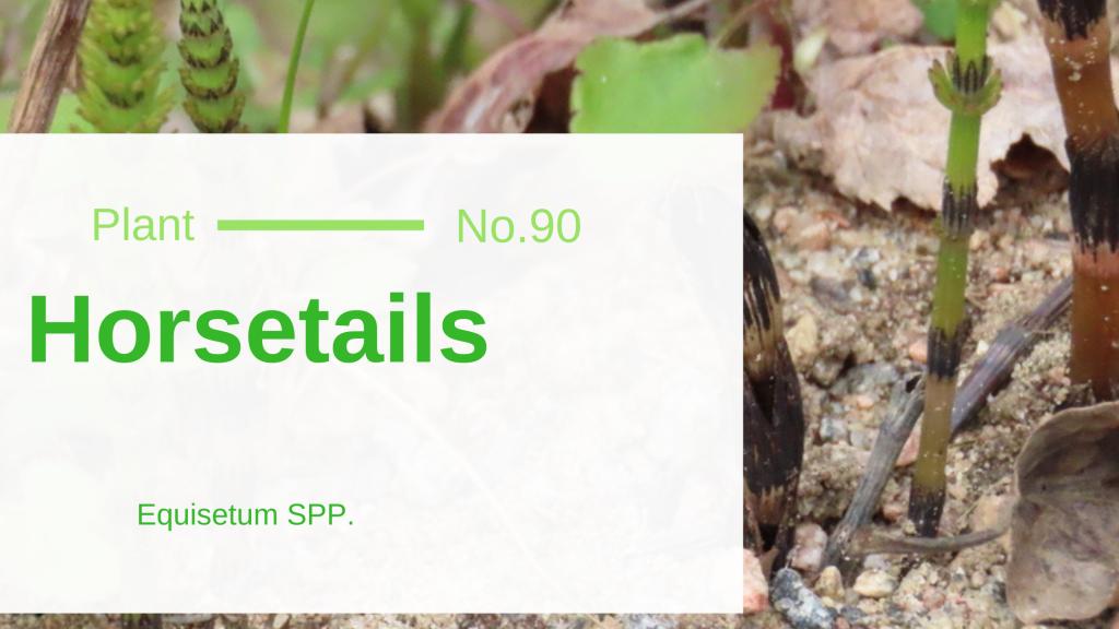 Horsetails - Equisetum SPP.