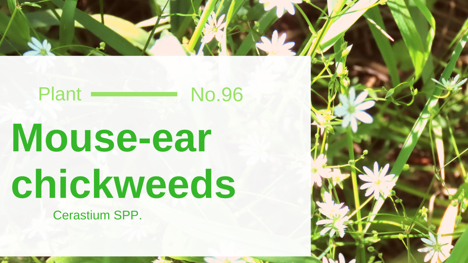 Mouse-ear Chickweeds - Cerastium SPP.