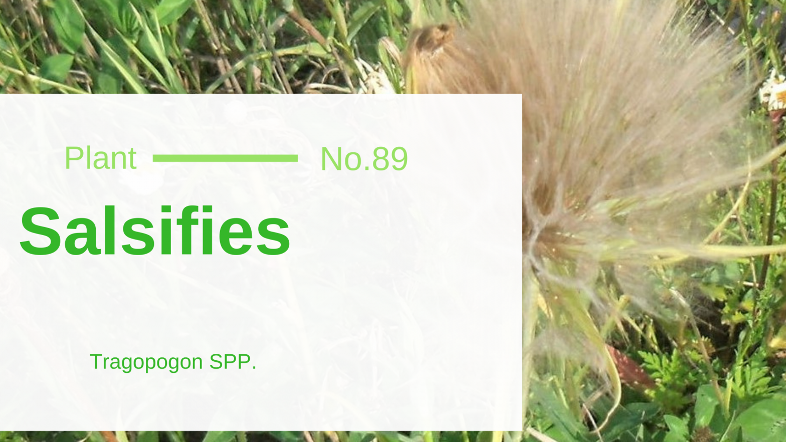 Salsifies - Tragopogon SPP.: Oyster of Edible & Medicinal Wild Plants
