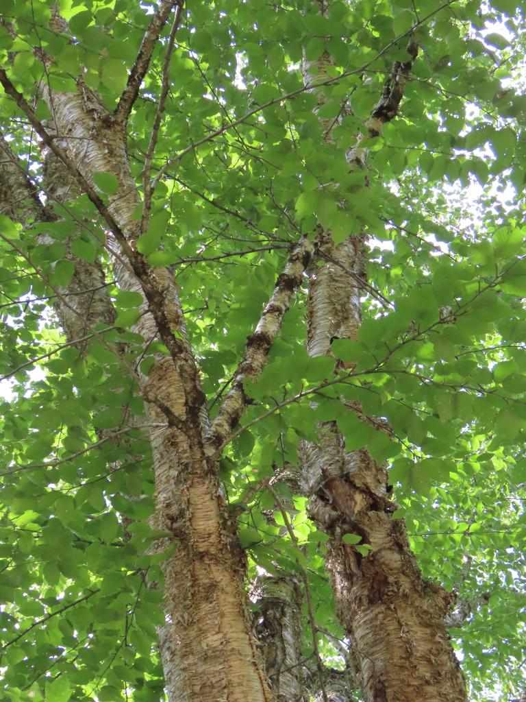 Yellow Birch - Betula Alleghaniensis