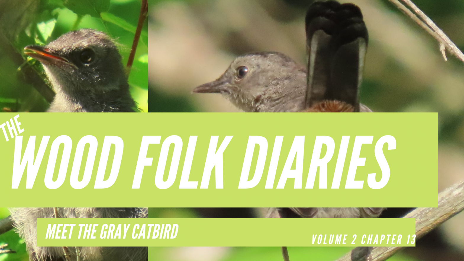 The Wood Folk Diaries: Volume 2, Chapter 13: Meet the Gray Catbird